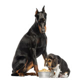 Doberman Pinscher looking down at a puppy eating Stock Image