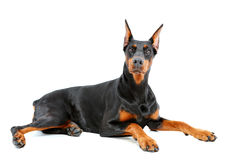 Doberman pinscher lying with important look Royalty Free Stock Photography