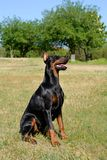 Doberman Pinscher on a meadow Royalty Free Stock Photos