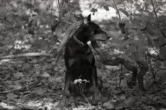 Doberman Pinscher obsiadanie na liściach pod wyginającą się gałąź Zdjęcie Royalty Free