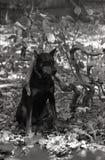 Doberman Pinscher obsiadanie na liściach pod wyginającą się gałąź Zdjęcie Stock
