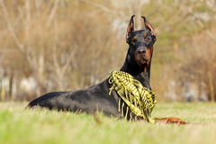 Doberman Pinscher outdoors Royalty Free Stock Images