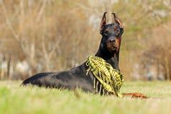 Doberman Pinscher outdoors Royalty Free Stock Images