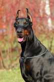 Doberman Pinscher outdoors Stock Photography
