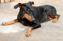Doberman Pinscher Pet Dog Royalty Free Stock Photography