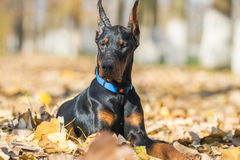 Doberman Pinscher portrait Royalty Free Stock Photos