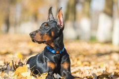 Doberman Pinscher portrait Stock Image