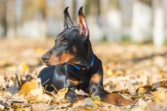 Doberman Pinscher portrait Stock Photo