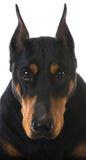 Doberman pinscher Stock Photo