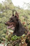 Doberman pinscher poses for the camera. Calm, massive. royalty free stock images