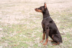 Doberman pinscher poses for the camera Royalty Free Stock Photo