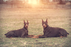 Doberman pinscher poses for the camera Royalty Free Stock Images