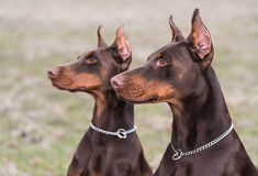 Doberman pinscher poses for the camera Royalty Free Stock Image