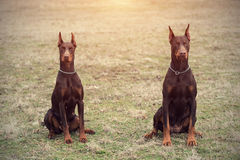 Doberman pinscher poses for the camera Stock Photos