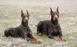 Doberman pinscher poses for the camera Royalty Free Stock Photography