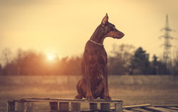 Doberman pinscher poses for the camera Stock Image
