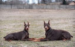Doberman pinscher poses for the camera Stock Photo