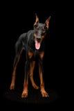 Doberman Pinscher psa pozycja i Patrzeć w kamerze, odosobniony czerń Zdjęcia Royalty Free
