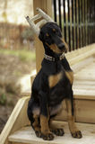 Doberman Pinscher Puppy Stock Photo