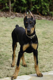 Doberman Pinscher Puppy. 4 month old Doberman puppy, female, ears down from posting stock photos