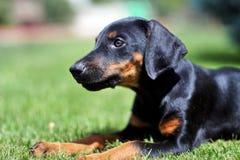 Doberman Pinscher puppy Stock Images