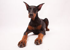 Doberman Pinscher Puppy isolated on White Royalty Free Stock Photography