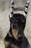 Doberman Pinscher Puppy Portrait Royalty Free Stock Photo