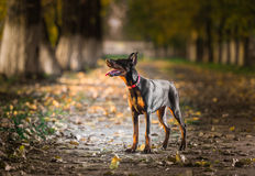 Doberman pinscher puppy Royalty Free Stock Image