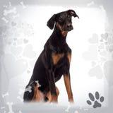 Doberman Pinscher puppy sitting, 6 months old stock photo