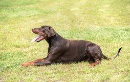 Doberman pinscher relaksuje w polu Zdjęcie Royalty Free