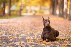 Doberman Pinscher resting in the park Royalty Free Stock Photos