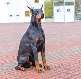Doberman Pinscher seats Stock Photos
