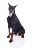 Doberman Pinscher sitting Royalty Free Stock Image