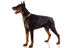 Doberman pinscher sitting on white background Stock Photography