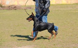 Doberman Pinscher in training Stock Images