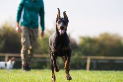 Doberman Pinscher in training Royalty Free Stock Photography