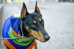 Doberman Pinscher waits for his owner, portrait, closeup. Royalty Free Stock Photography