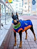 Doberman Pinscher waits for his owner. Stock Image