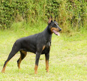 Doberman Pinscher Royalty Free Stock Photography