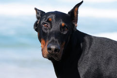 Doberman Pinscher Royalty Free Stock Photos