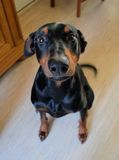 Doberman Pinsher from above Stock Photo