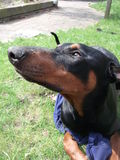 Doberman Pinsher Stock Images