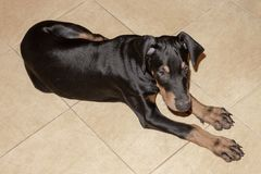 Doberman pintscher puppy lying on the tiled floor stock images