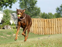 Doberman Playing Ball. A female Doberman Pinscher running at the viewer while playing ball Stock Photography