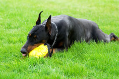 Doberman playing with ball Stock Photo