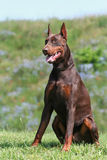 Doberman portrait Royalty Free Stock Image