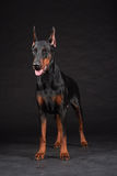 Doberman portrait on black. Studio shot of female dog. Royalty Free Stock Photography