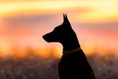 Doberman portrait at dawn Stock Images