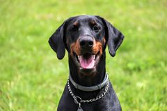 Doberman portrait of a head in background green grass. Dobrman is an intelligent, persevering, reliable and temperamental dog, energy-sparing. With proper Stock Photo