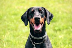 Doberman portrait of a head in background green grass. Dobrman is an intelligent, persevering, reliable and temperamental dog, energy-sparing. With proper Stock Image